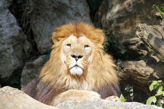 The African lion king of the beasts. Lazy African lion looking portrait Royalty Free Stock Photos