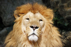 The African lion king of the beasts. Lazy African lion looking portrait Stock Image