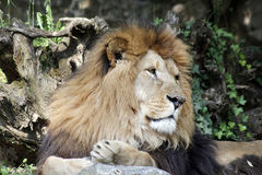 The African lion king of the beasts. Lazy African lion looking portrait Stock Images