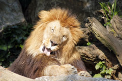 The African lion king of the beasts. Lazy African lion looking portrait Royalty Free Stock Photography