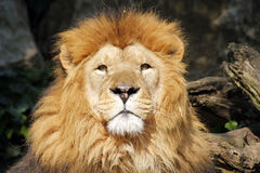 The African lion king of the beasts Royalty Free Stock Photography