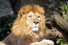 The African lion king of the beasts. Lazy African lion looking portrait Royalty Free Stock Images