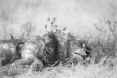 African lion in Kruger National park, South Africa. African lion lying down under shadow in Kruger National park, South Africa ; Specie Panthera leo family of stock image