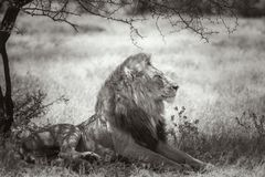 African lion in Kruger National park, South Africa. African lion lying down under shadow in Kruger National park, South Africa ; Specie Panthera leo family of stock photo