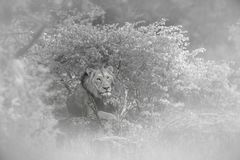 African lion in Kruger National park, South Africa. African lion male portrait in blur foreground in Kruger National park, South Africa ; Specie Panthera leo royalty free stock image