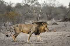 African lion in Kruger National park, South Africa Royalty Free Stock Images