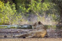 African lion in Kruger National park, South Africa Stock Photography