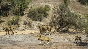 African lion in Kruger National park, South Africa Royalty Free Stock Photos