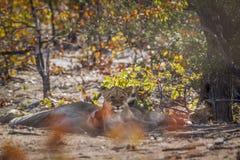 African lion in Kruger National park, South Africa stock image
