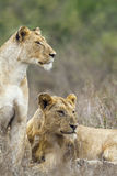 African lion in Kruger National park, South Africa. Specie panthera leo family of felidae, African lion in Kruger National park, South Africa Stock Photo
