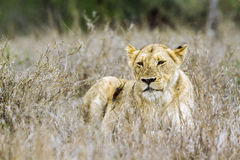 African lion in Kruger National park, South Africa Royalty Free Stock Photography