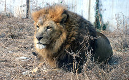 African lion Royalty Free Stock Image