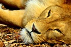 African lion Royalty Free Stock Photography