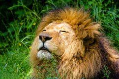 African Lion, Lion, Male, Mane Stock Photos
