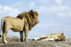 African lion and lioness (Panthera leo) Royalty Free Stock Photography