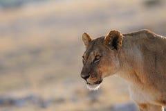Lion look curious, etosha nationalpark, namibia Stock Photography