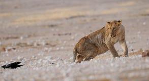 Lion female look curious, etosha nationalpark, namibia Stock Photography