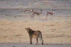 Lion look curious, etosha nationalpark, namibia. African lion look curious with sprinbock, etosha nationalpark, namibia, panthera leo Stock Images