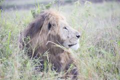 African lion looking powerful in his pride land in Africa. An African lion looking powerful in his pride land in Africa stock photo