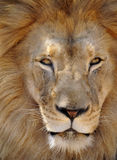 African lion male adult full frame, africa. African lion male adult full frame close up of face Royalty Free Stock Photo
