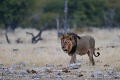 Lion male,  etosha nationalpark, namibia. African lion male, etosha nationalpark, namibia, panthera leo Stock Photography