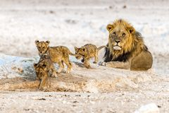 The African lion. An African male lion with his kids in Etosha National Park of Namibia royalty free stock photography