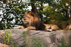 African Lion. A male lion rest on a rock Royalty Free Stock Image
