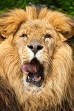 African Lion Male. UK captive male lion mane and head face on licking lips stock images