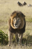 African lion , Masai Mara, Kenya Stock Photography