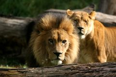 African Lion Mates. Large Lions native to Africa. The female nuzzels the male with a large mane stock photo