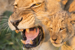 African Lion Mother and Cub (Panthera leo) South Africa(Panthera leo) South Africa stock photography