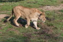 Image of a female african  lion on nature background. Wild Anima Royalty Free Stock Photo