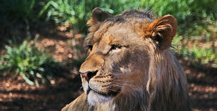African lion. New addition African lion in Denver zoo Royalty Free Stock Image