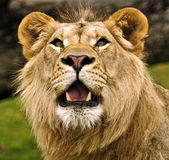 African Lion Stock Image