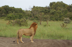 African lion overlooking the savanna. A mail African lion is overlooking the savanna in Ol Pejeta Kenya Stock Image