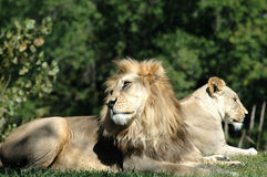 African Lion Pair Royalty Free Stock Photos