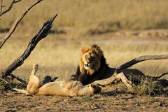 African lion pair. A male and female African lion (Panthera leo), Kalahari desert, South Africa Stock Image