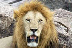African lion (Panthera leo) Royalty Free Stock Image