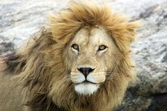 African lion (Panthera leo) Stock Photo