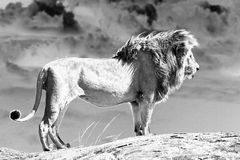 African lion (Panthera leo) Royalty Free Stock Images