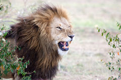African lion (Panthera leo) Royalty Free Stock Photo