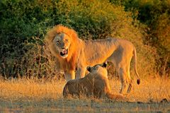 African Lion, Panthera leo bleyenberghi, mating action scene, animal behaviour in the nature habitat, male and female, evening ora royalty free stock image