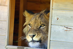 African lion (Panthera leo) in captivity neighborhood watches through a window. The african lion (Panthera leo) young male,neighborhood royalty free stock image