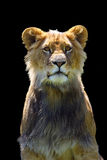 African lion (Panthera leo)  in captivity. The african lion & x28;Panthera leo& x29; young male with black backgound royalty free stock photos