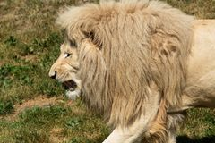 African Lion - Panthera leo. A closeup of a captive male white African Lion walking in the short grass at the zoo. Toronto, Ontario, Canada royalty free stock photos