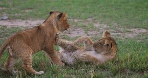 African Lion, panthera leo, Cubs playing, Masai Mara Park in Kenya. Real Time 4K stock footage