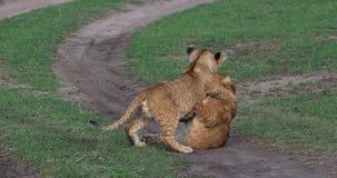 African Lion, panthera leo, cubs playing, Masai Mara Park in Kenya,. Real Time 4K stock video footage