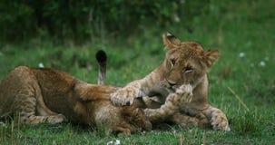 African Lion, panthera leo, cubs playing, Masai Mara Park in Kenya,. Real Time 4K stock footage