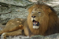 African Lion - Panthera leo Royalty Free Stock Photography