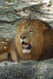 African Lion - Panthera leo Stock Images